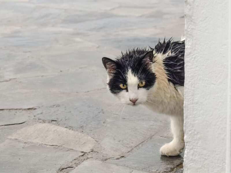 gatto bagnato 800x600 - Gatti: leggende popolari dal mondo