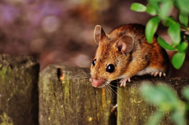 topo paura dei topi 800x533 - Cos'è la musofobia: cause, sintomi e terapia della paura dei topi