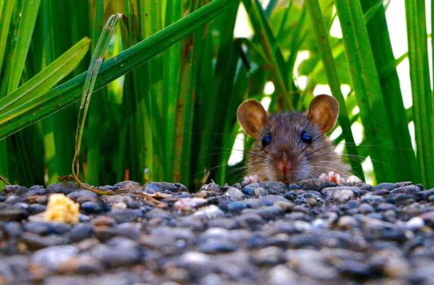 Cos'è la musofobia: cause, sintomi e terapia della paura dei topi