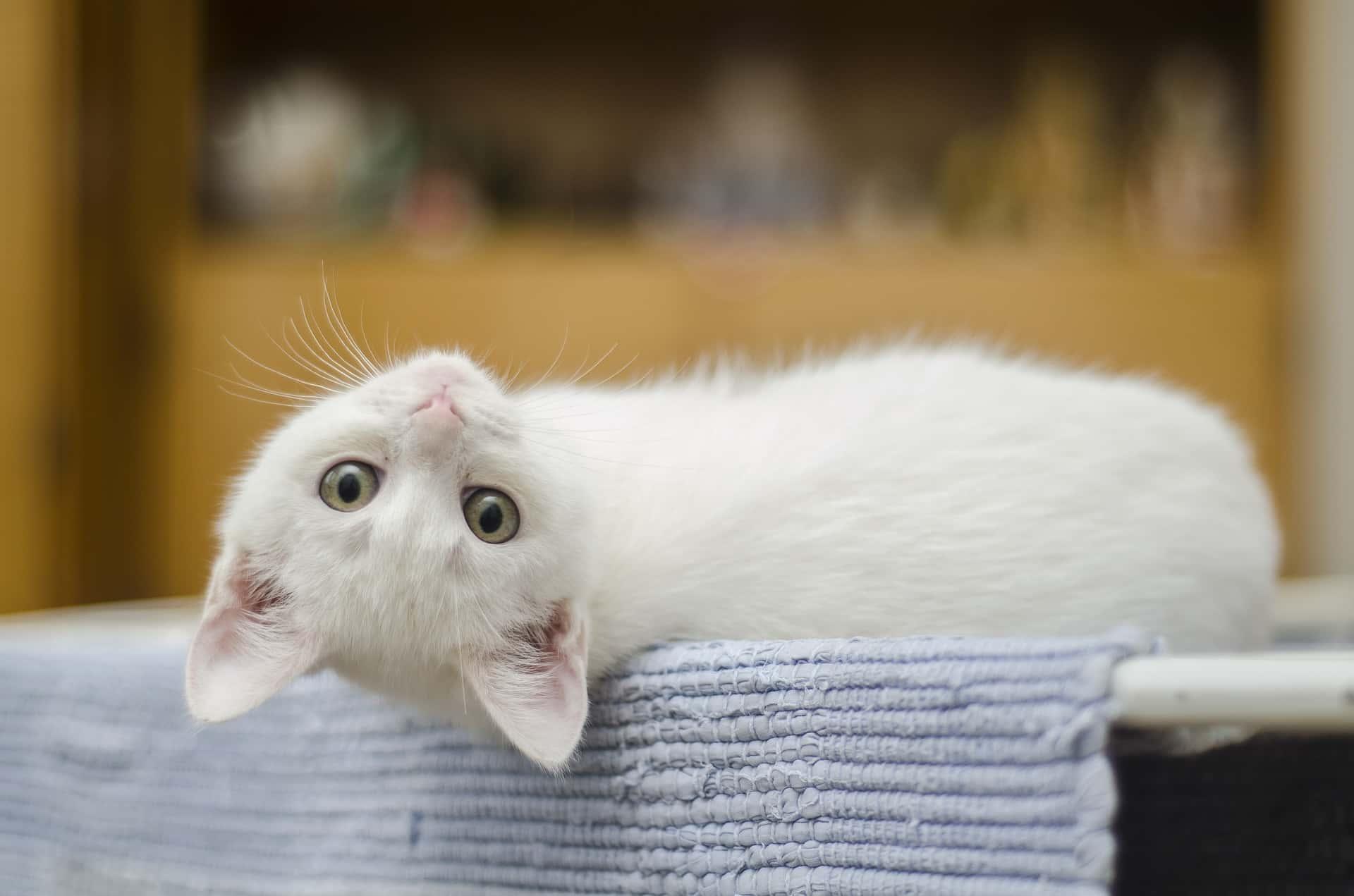 nomi per gatti indonesiani - Nomi per gatti spagnoli e indonesiani