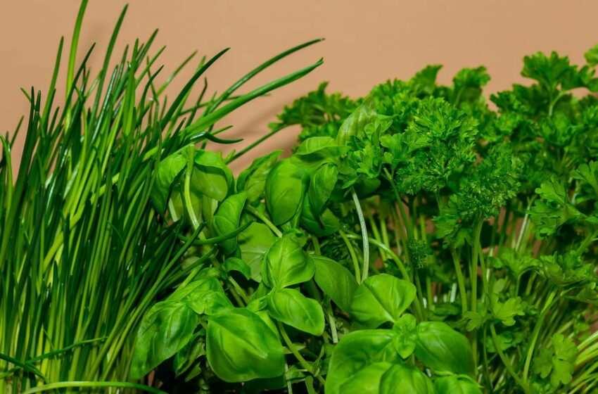 Erbe aromatiche coltivazione: consigli pratici per non farle appassire