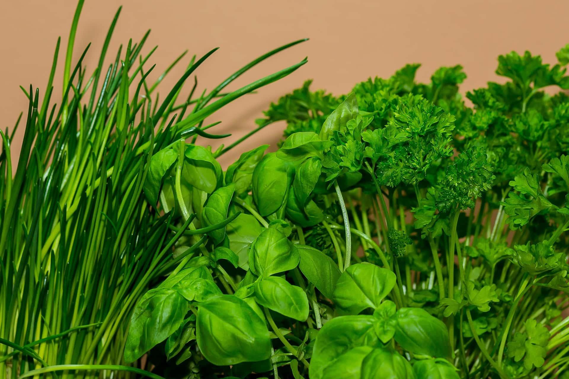 erbe aromatiche - Erbe aromatiche coltivazione: consigli pratici per non farle appassire