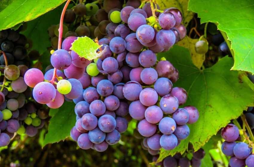 Coteaux Champenois: alla scoperta dei vini fermi francesi