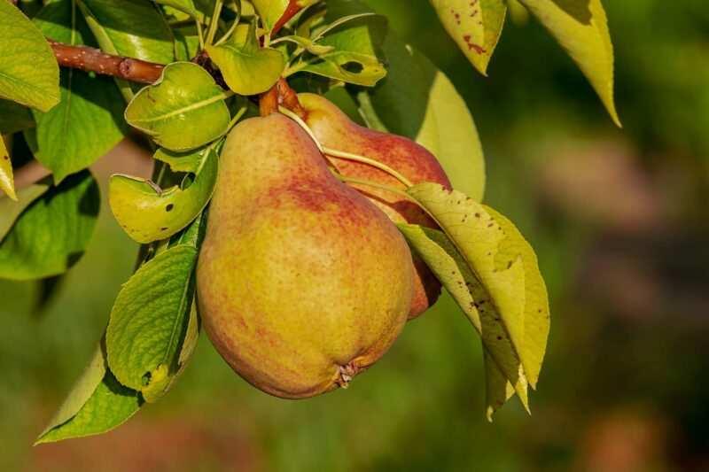 pera frutta di stagione 800x533 - Frutta di stagione estiva: qual è, proprietà, benefici e come mangiarla